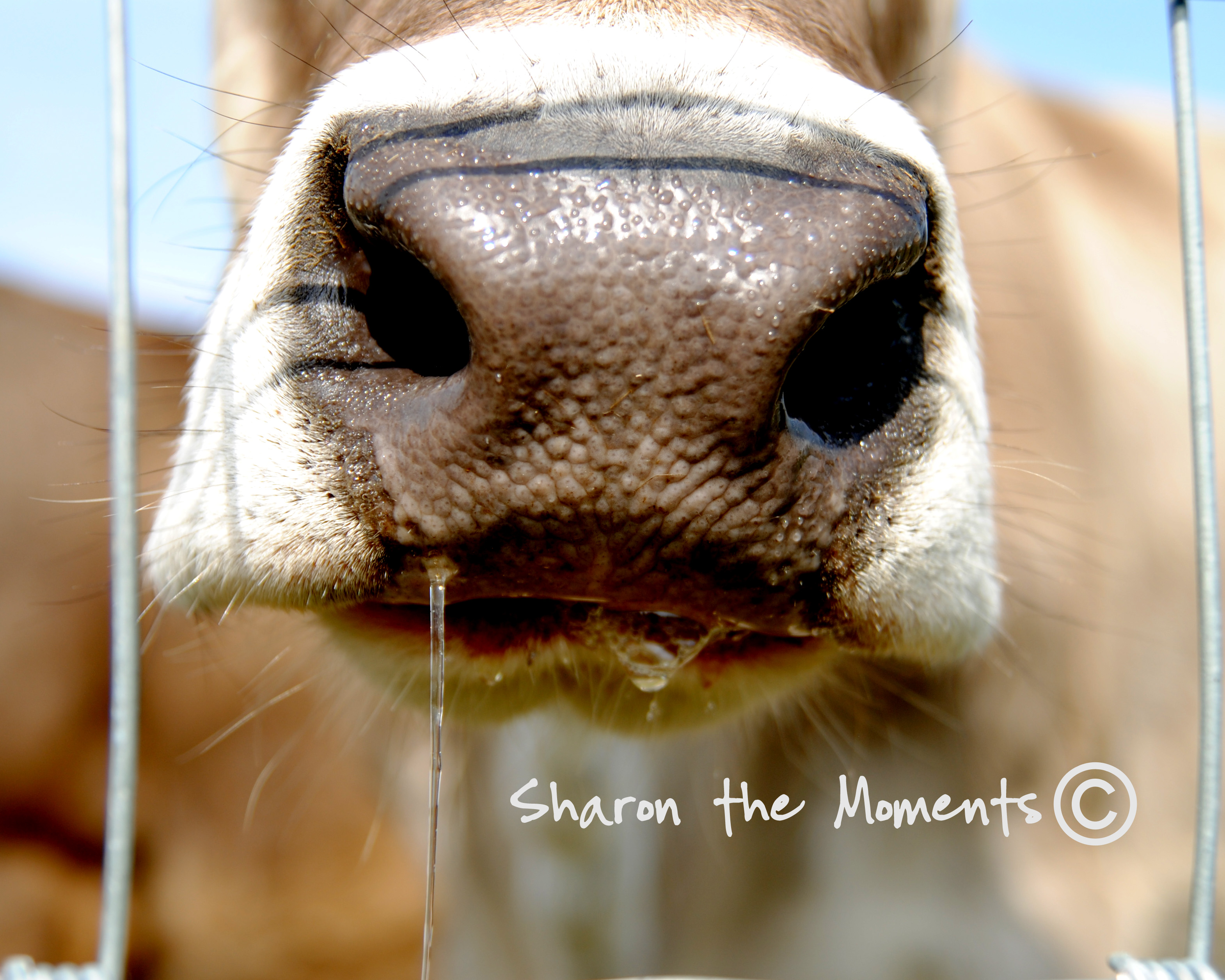 Slobbering cow at Orchard and Company|Sharon the Moments blog