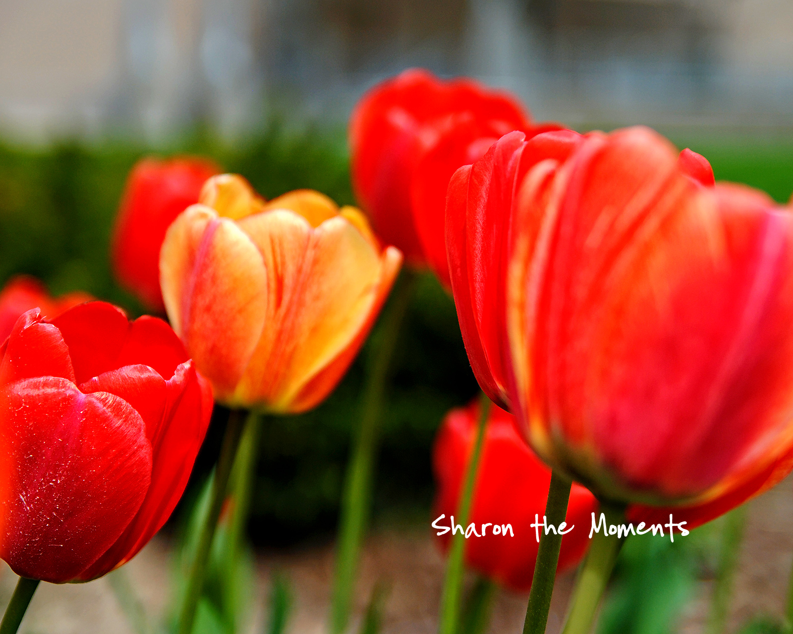 Monday Monday Spring Tulips Downtown Columbus Ohio|Sharon the Moments blog