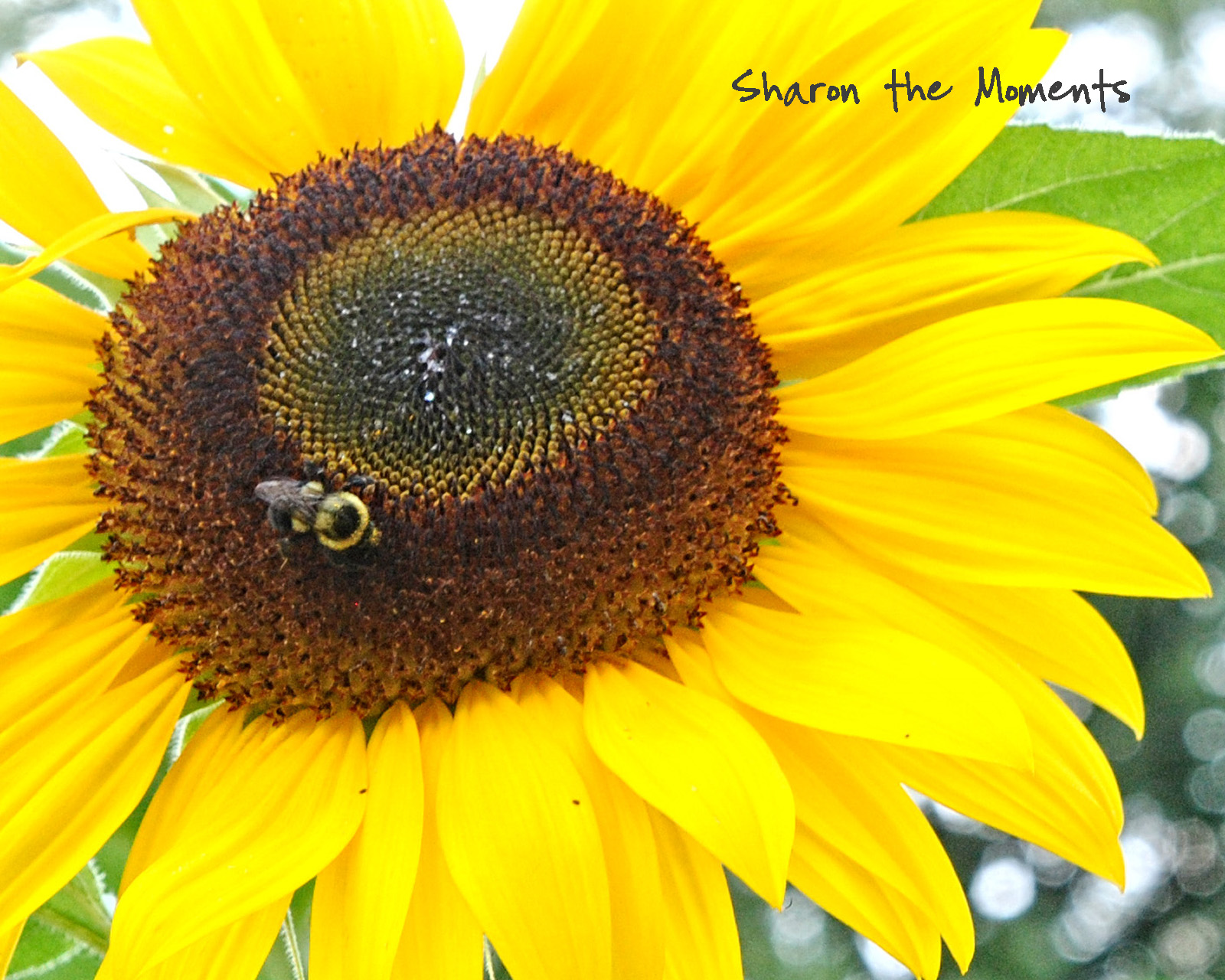 Favorite Photo Friday Summer Sunflowers|Sharon the Moments blog